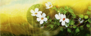 bacopa-header
